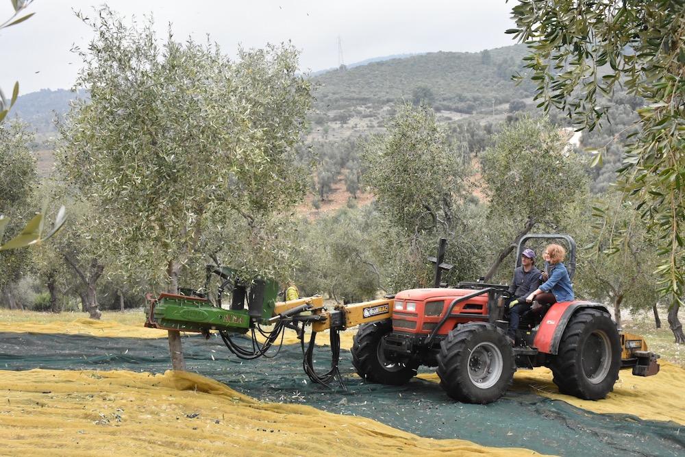 Resi bei der Olivenernte